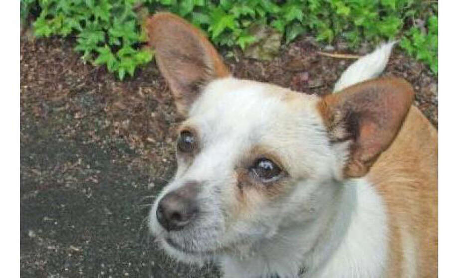 Name: Tyson, Chihuahua, Short Coat/Mix, Male, Small, Age: 5 years, 1 month, Adoption Status: Available. Visit: http://www.seattlehumane.org/adopt/pets/dogs Photo: Seattle Humane Society
