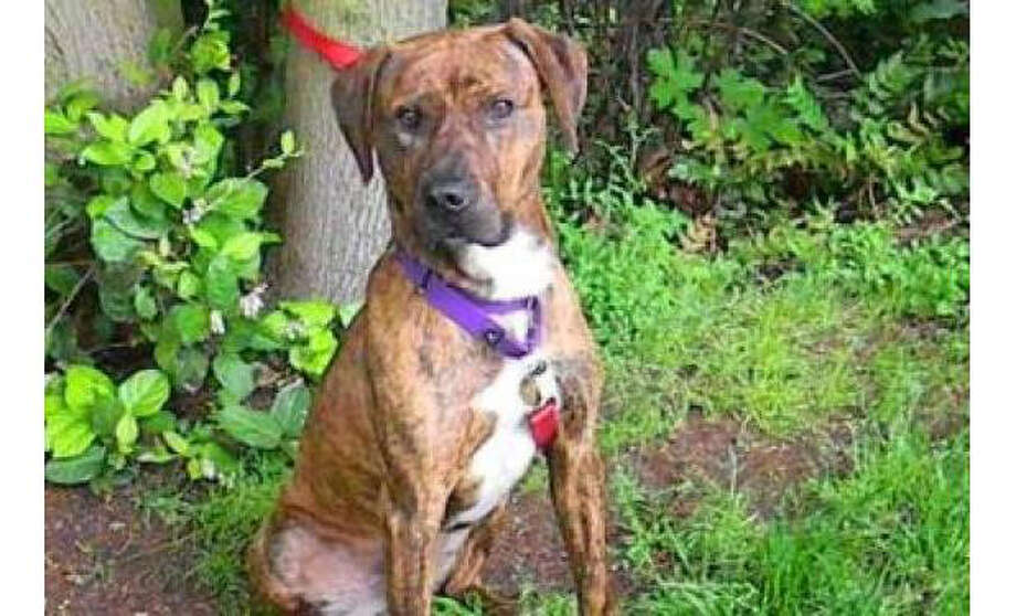 Name: Hogan, Orange Brindle Adventurer Terrier, American Pit Bull/Plott Hound, Male, Medium, Age: 1 year, Adoption Status: Available. Visit: http://www.seattlehumane.org/adopt/pets/dogs Photo: Seattle Humane Society