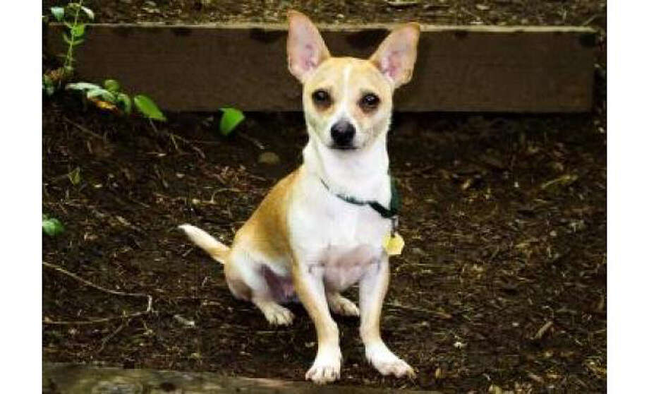 Name: Milly, Chihuahua, Short Coat/Dachshund, Miniature Smooth Haired, Female, Small, Age: 3 years, 1 month
