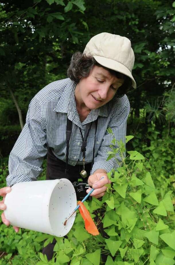 Donna Ellis, senior extension educator at the University of Connecticut's College of Agriculture and Natural Resources, releases weevils at Bruce Park on Monday, June 13, 2011, to combat the mile-a-minute invasive plant. Photo: Helen Neafsey / Greenwich Time