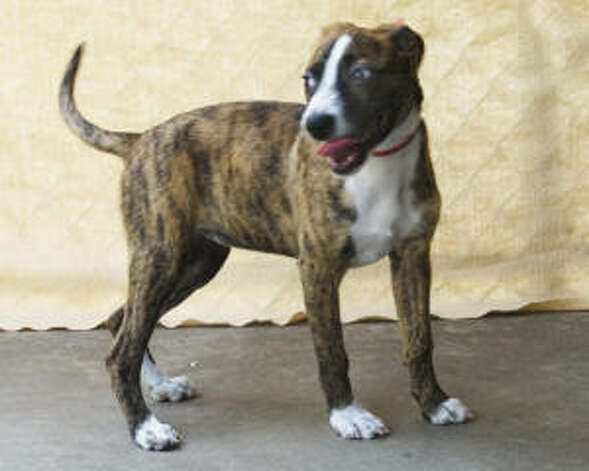 Boxer Whippet Mix A young female boxer mix,