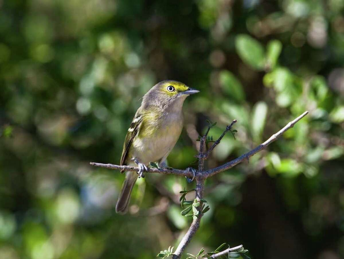 The drought appears to be having an impact on nesting songbirds like the white-eyed vireo. Lack of water and insects will weaken adults and chicks. Photo Credit: Kathy Adams Clark. Restricted use.