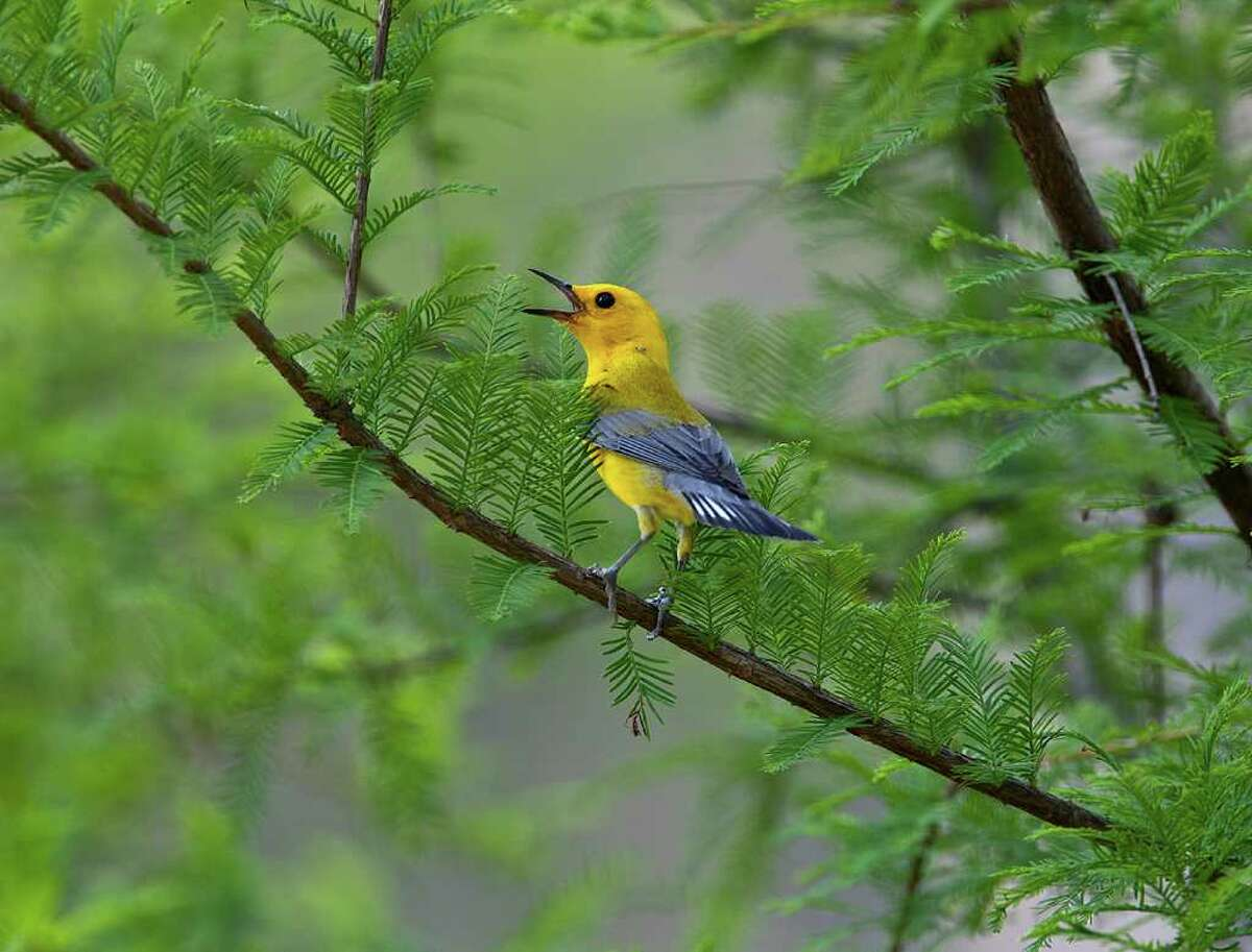 The drought appears to be having an impact on nesting songbirds like the prothonotary warbler. Lack of water and insects will weaken adults and chicks. Photo Credit: Kathy Adams Clark.