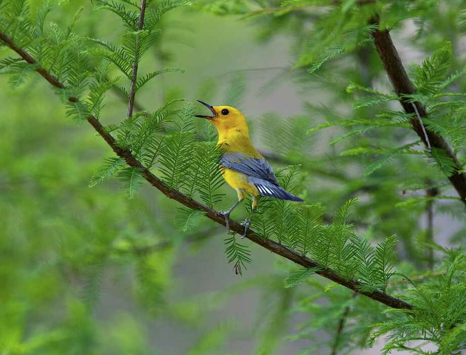 The drought appears to be having an impact on nesting songbirds like the prothonotary warbler.  Lack of water and insects will weaken adults and chicks.  Photo Credit:  Kathy Adams Clark. Photo: Kathy Adams Clark / Kathy Adams Clark/KAC Productions