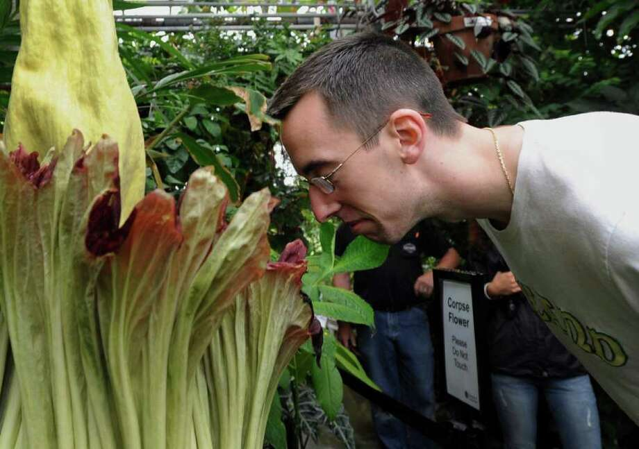 "Dan Hagen of Berlin, Conn., smells the University of Connecticut's rare ""corpse flower"", the bud of the exotic Sumatran plant, the Titan Arum, in Storrs, Conn., Friday, June 17, 2011.  The plant has bloomed only twice since the seed was planted in 1994, and previous blooms in 2004 and 2007 drew scores of visitors. (AP Photo/Jessica Hill) Photo: Jessica Hill, AP / AP2011"