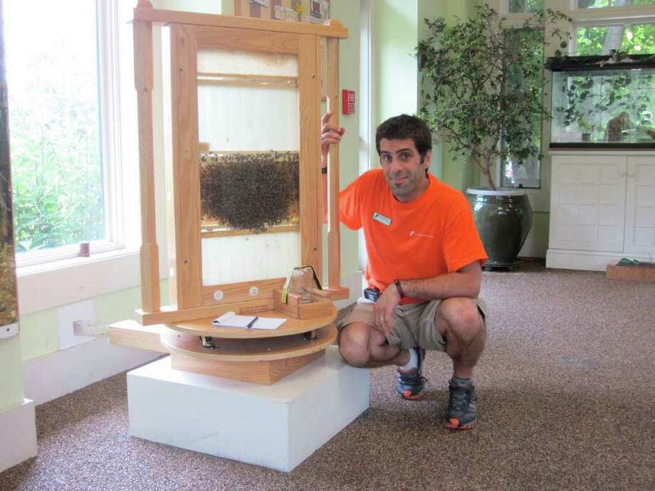 "Keith Marshall, Director of Education at the New Canaan Nature Center, shows off a working hive of honeybees in the visitor's center. one ""frame"" of bees can hold up to 3,000 of the buzzing insects. - Photo by John H. Palmer Photo: File Photo / New Canaan News"