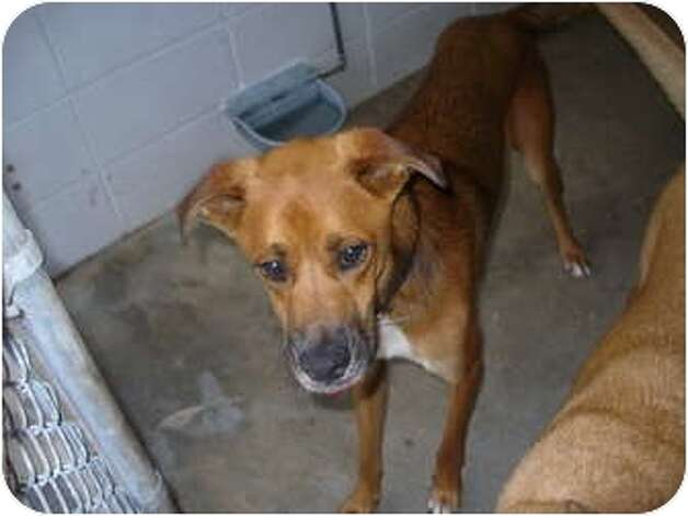 Fox, an adult male Boxer/Hound mix, is an adoptable dog at Beaumont Animal Services, (409) 880-3794. He is neutered, up-to-date wi