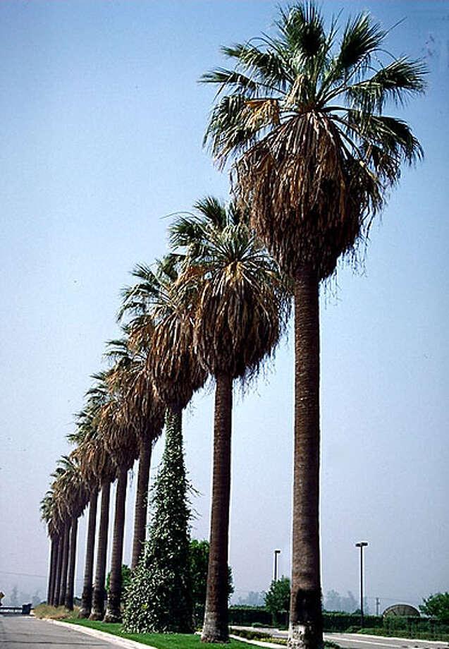 archiveplease Washington Filifera/California palm. Photo from Horticopia Photo: Horticopia