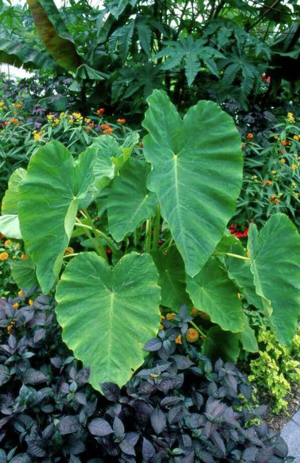 Colocasia esculenta Photo: David Cavagnaro