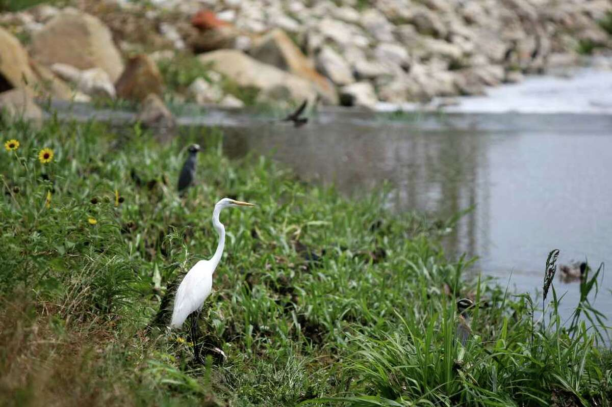 An egret sits along the bank of the Mission Reach portion of the San Antonio River on Wednesday, June 22, 2011.