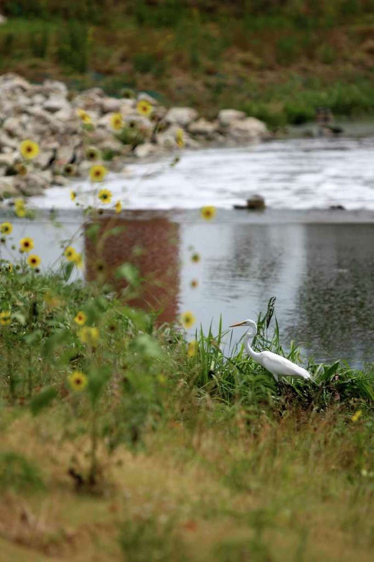 An egret walks along the Mission Reach portion of the San Antonio River on Wednesday, June 22, 2011.