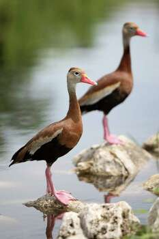 Black-bellied whistling ducks are pictured along the Mission Reach portion of the San Antonio River. Photo: Andrew Buckley/abuckley@express-news.net / abuckley@express-news.net