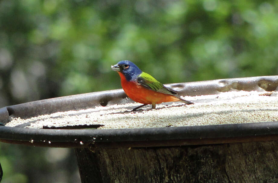 A painted bunting enjoys white millet in a feeder at Hummer House in Christoval. The songbirds nest in the area from May through July. TRACY HOBSON LEHMAN / EXPRESS-NEWS