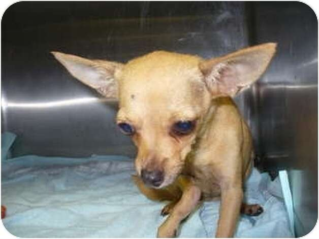 Chica, an adult female Chihuahua, is an adoptable dog at Beaumont Animal Services, (409) 880-3794. She has an injured leg, according to her listing on Petfinder.com.