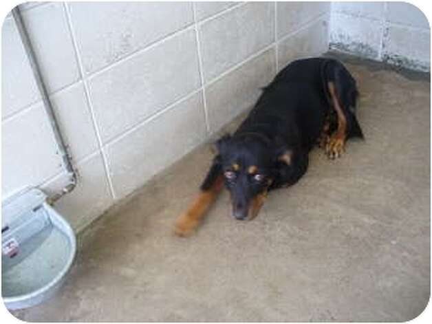 Trudi, a young female Labrador Retriever/Rottweiler mix, is an adoptable dog at Beaumont Animal Services, (409) 880-3794. She is spayed, up-to-date with routine shots and house trained, according to his listing on Petfinder.com.