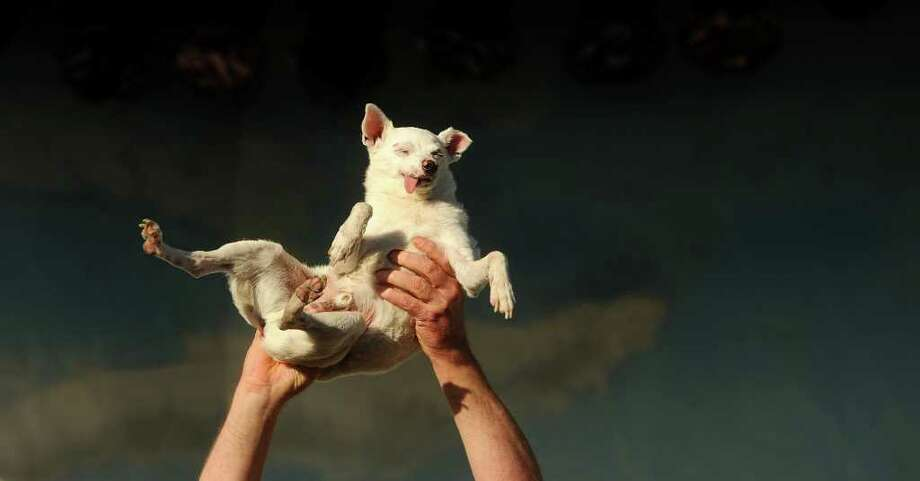 Ratdog, a 14-year-old Chihuahua mix, competes in the 2011 World's Ugliest Dog Contest on Friday, June 24, 2011, in Petaluma, Calif. He was born deaf and toothless, but did not win the Sonoma-Marin Fair competition. Photo: AP