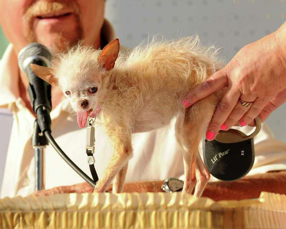 A judge evaluates Yoda during the 2011 World's Ugliest Dog Contest on Friday, June 24, 2011, in Petaluma, Calif. The 14-year-old Chinese Crested and Chihuahua mix took top honors winning $1000 and a plethora of pet perks at the Sonoma-Marin Fair. Photo: AP
