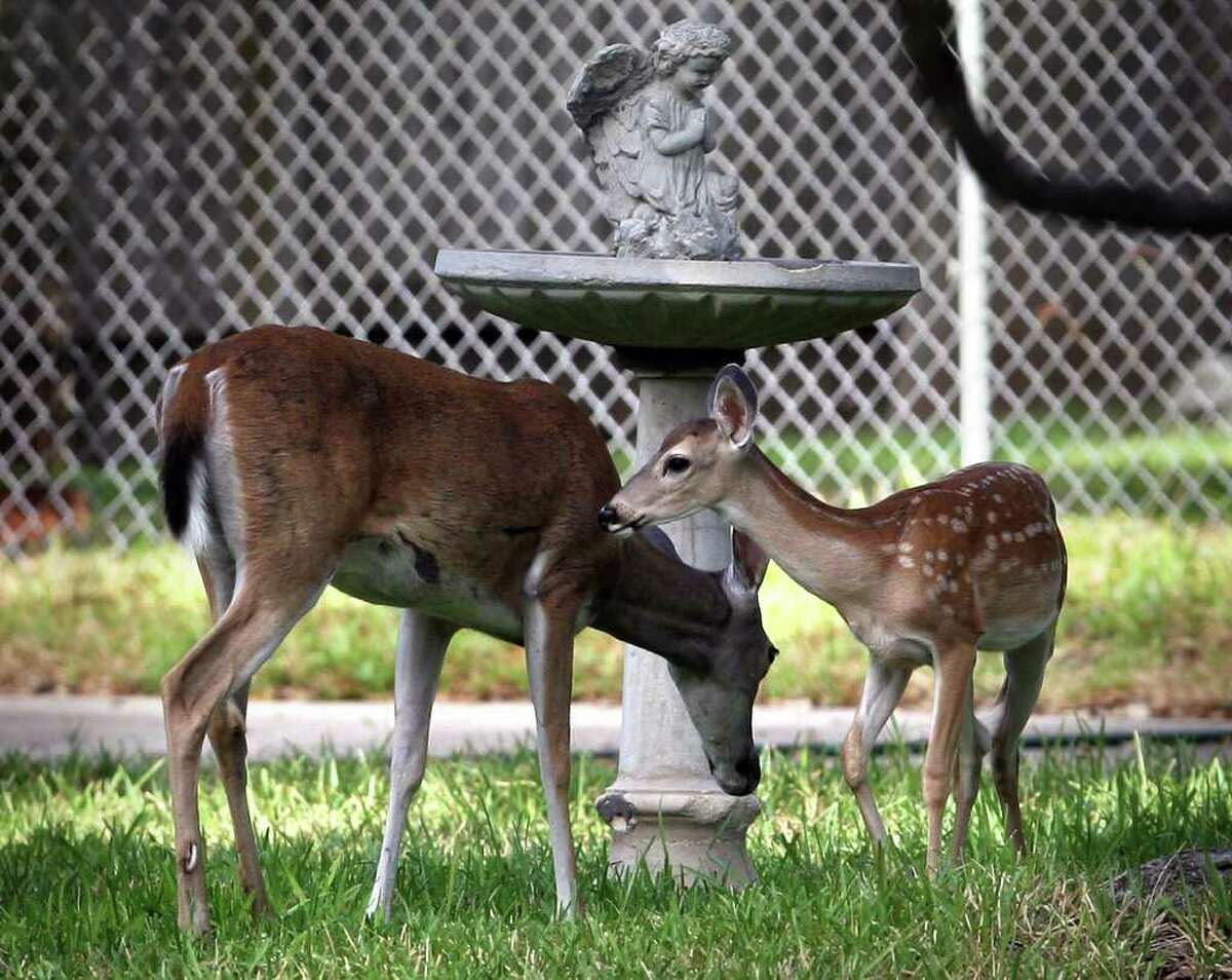 Metro daily - Deer feed in a yard at a home on Meadowbrook in Hollywood Park, Tuesday, Aug. 29, 2006. Photo Bob Owen