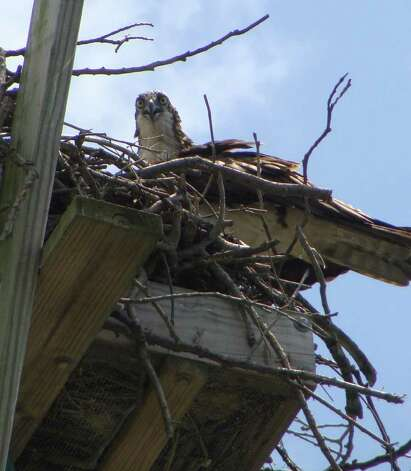 A young osprey in its nest atop a platform Saturday in Longshore Park in Westport. Photo: Meg Barone / Westport News freelance