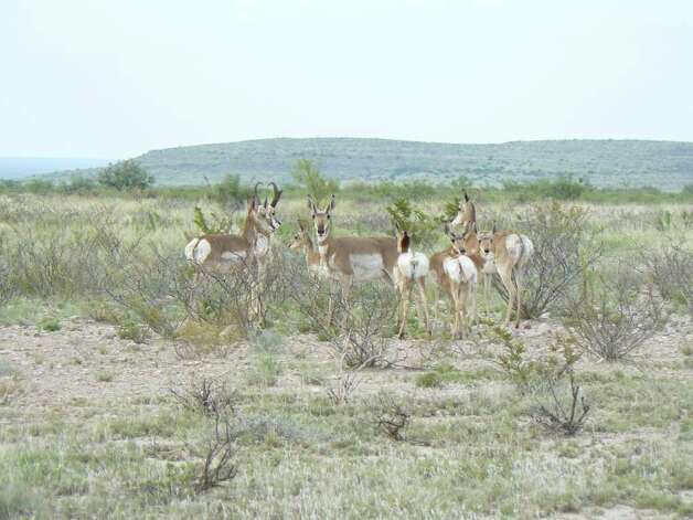 According to the U.S. Fish & Wildlife Service, during the winter, pronghorn live in herds, but in the spring, bucks start defending territory and amassing a harem of two to 15 does. Learn more about pronghorn from the FWS. Photo: Courtesy Photo/Texas Parks & Wildlife