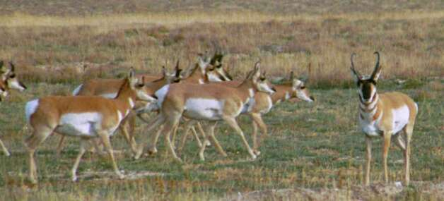 Pronghorn antelope are one of the large mammals that inhabit approximately 14 million acres in West Texas, with about 70 percent occurring in the Trans-Pecos region, according to Texas Parks & Wildlife. The TPWD website says population levels in the Trans-Pecos from 1978 to 2000 have changed significantly from a high of 17,000 animals in the mid-to-late 80s to a low of 5,200 animals in year 2000. Learn more about pronghorn from the TPWD. Photo: Ron Henry Strait/Special To The Express-News