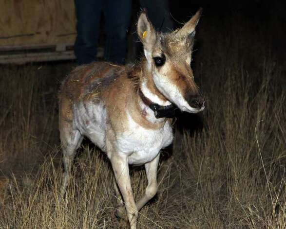 A pronghorn antelope is released from a trailer on February 23, 2011, at the East Hip-O Ranch west of Marfa. While the population decline here remains a mystery, biologists are studying factors including drought, hard winters, an internal parasite called the barber pole worm, predation and reduction of open range by net wire fences. Photo: John Davenport/jdavenport@express-news.net / jdavenport@express-news.net