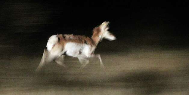A pronghorn antelope rushes off after being released from a trailer on February 23, 2011, at the East Hip-O Ranch west of Marfa. Pronghorn are among the speediest animals in North America, and can run at more than 53 miles (86 kilometers) an hour, according to National Geographic. Photo: John Davenport/jdavenport@express-news.net / jdavenport@express-news.net