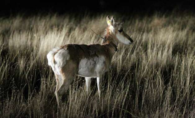 A pronghorn antelope looks around after being released from a trailer February 23, 2011, at the East Hip-O Ranch west of Marfa. The shipments that began this week of antelope from the Panhandle to the Big Bend are part of a long term effort to replenish the dwindling antelope herds here. Photo: John Davenport/jdavenport@express-news.net / jdavenport@express-news.net