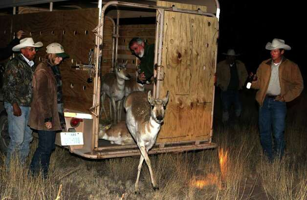 Pronghorn antelope are released from a trailer on February 23, 2011, at the East Hip-O Ranch, about 4 ½ miles west of Marfa. Because of a declining pronghorn antelope population near the Big Bend area, the Texas Parks and Wildlife Department is transporting the antelopes from the Dalhart area in the Texas Panhandle to the Marfa Plateau. Photo: John Davenport/jdavenport@express-news.net / jdavenport@express-news.net