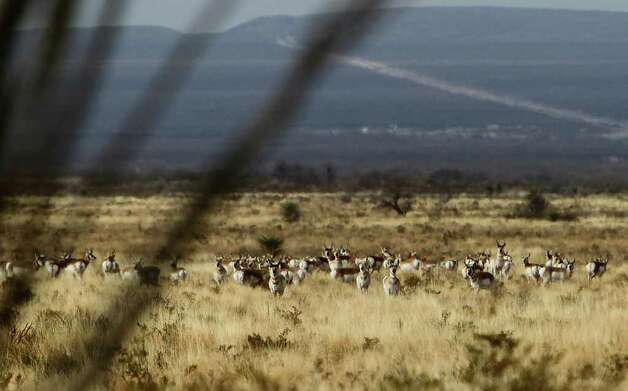 A herd of pronghorn keep a lookout for predators while grazing along the desert floor of Sierra del Carmen in Coahuila, Mexico. The herd was recently re-introduced to the area by CEMEX, one of the biggest cement companies in the world. CEMEX purchased about 400,000 acres of land south of Big Bend National Park and in the past 10 years, has developed a private conservatory for native wildlife and vegetation called Proyecto El Carmen. Read more about the project. Photo: Kin Man Hui/khui@express-news.net / San Antonio Express-News