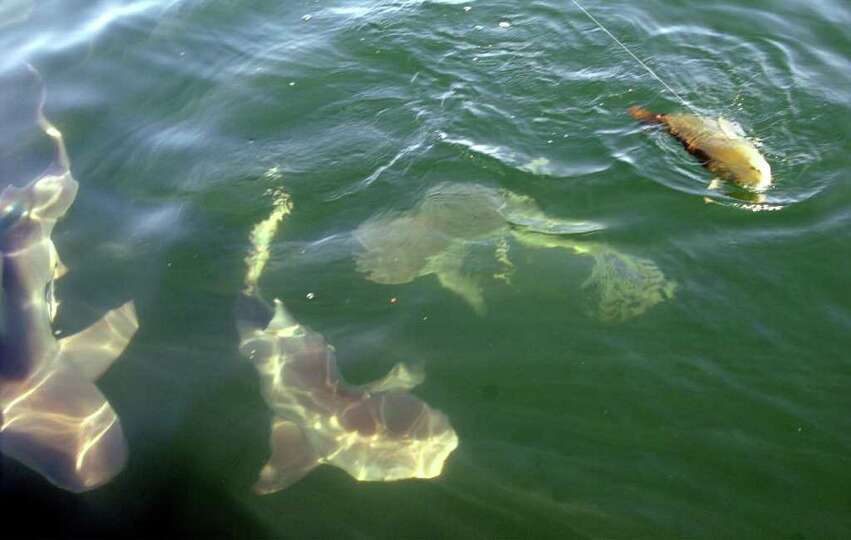 A school of 250 to 300 pound bull sharks close in on a redfish being caught in the Gulf of Mexico ou