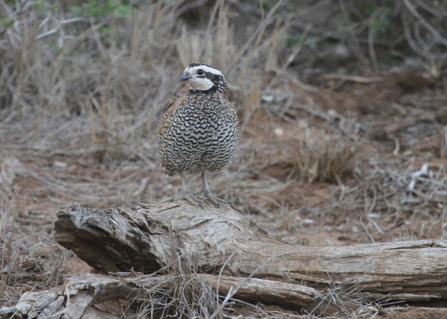 BLISTERED BOBS - Drought conditions across Texas bodes tough times from bobwhite quail, turkey and other ground-nesting birds dependant on the cover and forage healthy grasses and other ground cover provides.  (Photo by Shannon Tompkins) / DirectToArchive