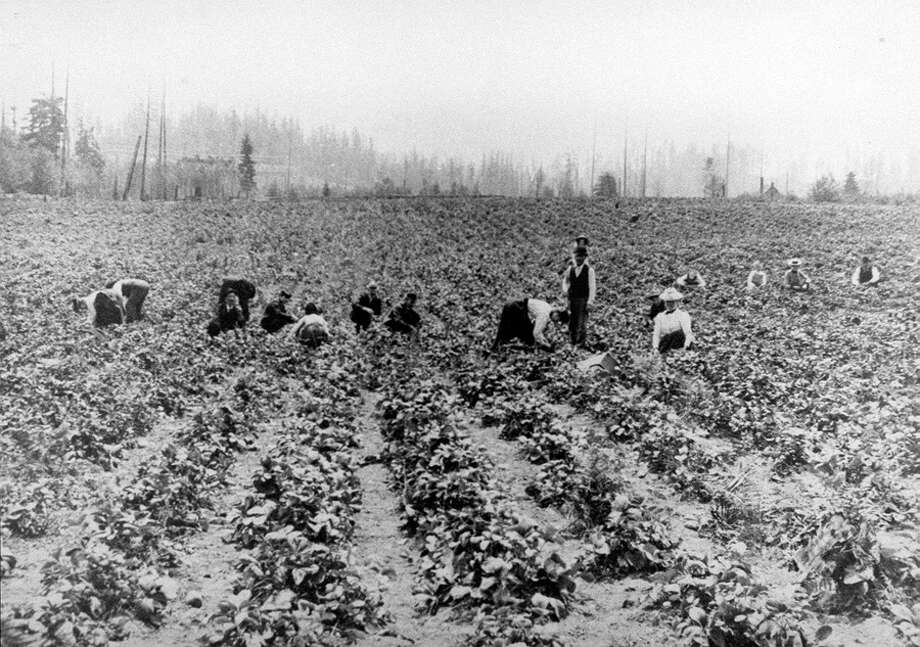 Strawberry field at Jesse Warren Farm,  roughly the site of Nordstrom at Bellevue Square. This photo does not have a specific date, but was taken in the early 1900s. Photo: Seattlepi.com File