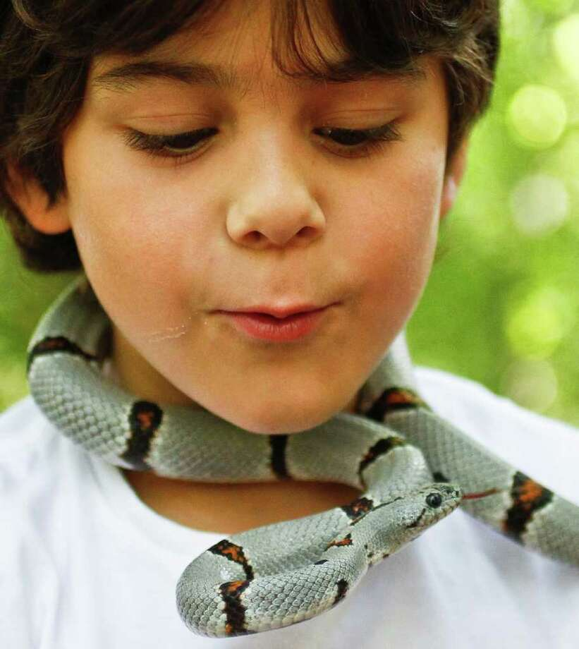 """Raphael Hananel, 7, (center) holds a Grey-Banded Kingsnake named """"Brandy"""" during a summer snake camp put on by Clint Pustejovsky at the Bellaire Nature Discovery Center, Friday, July 8, 2011, in Houston. ( Michael Paulsen / Houston Chronicle ) Photo: Michael Paulsen, Staff / © 2011 Houston Chronicle"""