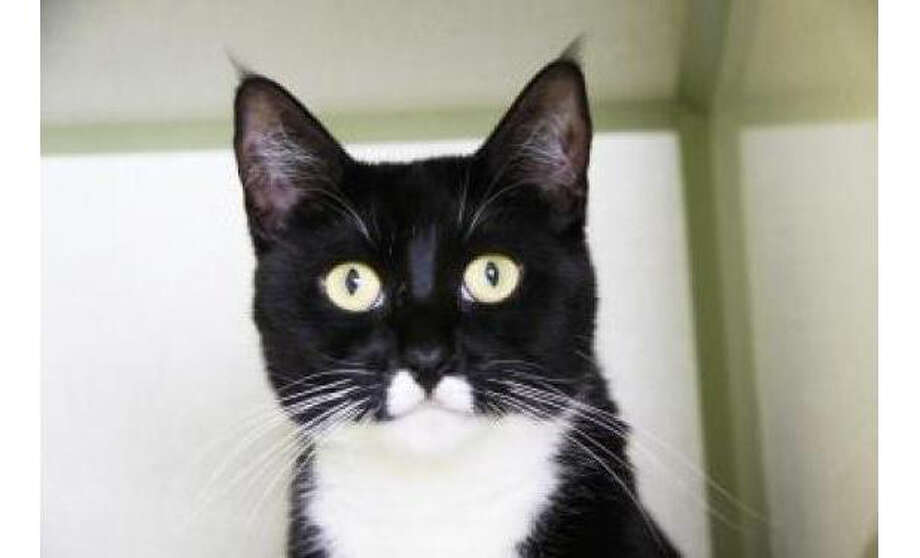 Name: Mia, Breed:  Domestic Shorthair/Mix, Gender: Female, Size: Small, Age:  3 years, Adoption Status: Available, Website: http://www.seattlehumane.org/ Photo: Seattle Humane Society