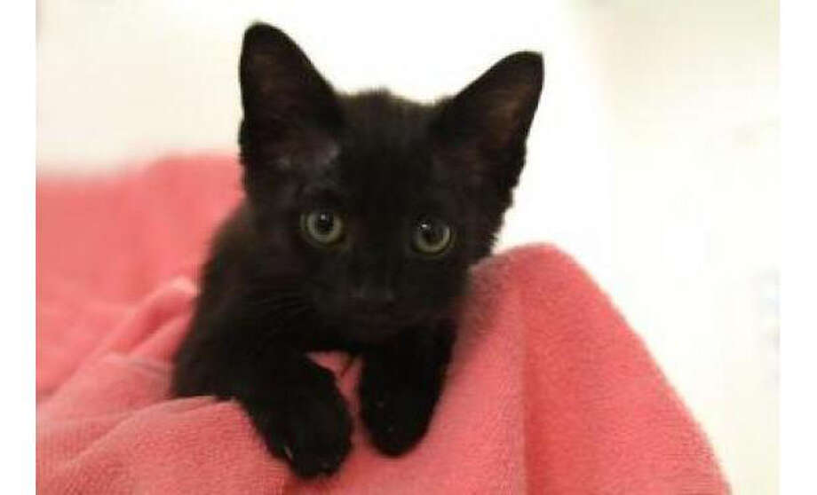 Name: Mickey, Breed:  Domestic Shorthair/Mix, Gender: Male, Size: Small, Age:  2 months, Adoption Status: Available, Website: http://www.seattlehumane.org/ Photo: Seattle Humane Society