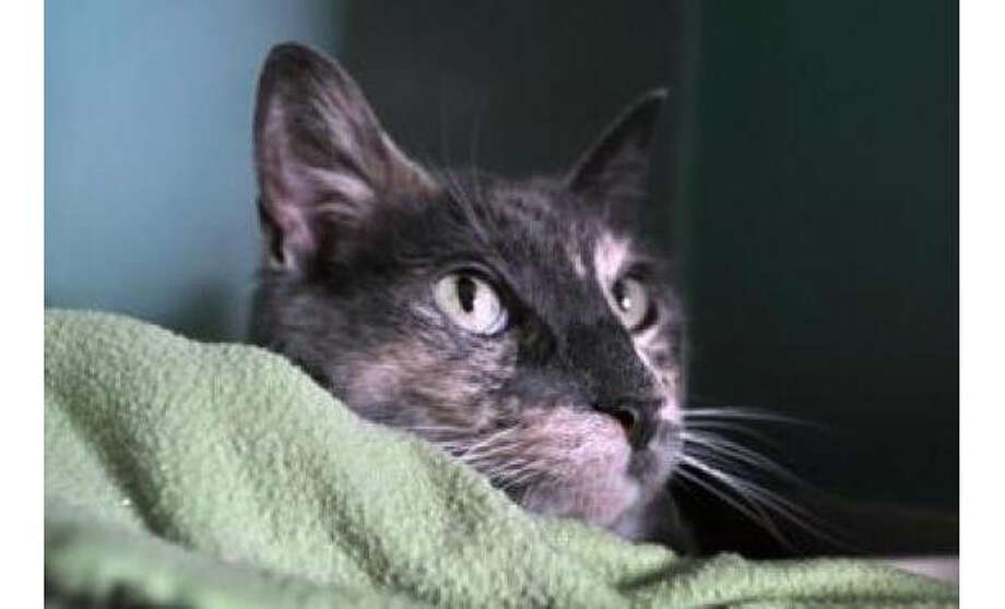 Name: Baby Kitty, Breed:  Domestic Shorthair/Mix, Gender: Female, Size: Small, Age:  3 years, 2 months, Adoption Status: Available, Website: http://www.seattlehumane.org/ Photo: Seattle Humane Society