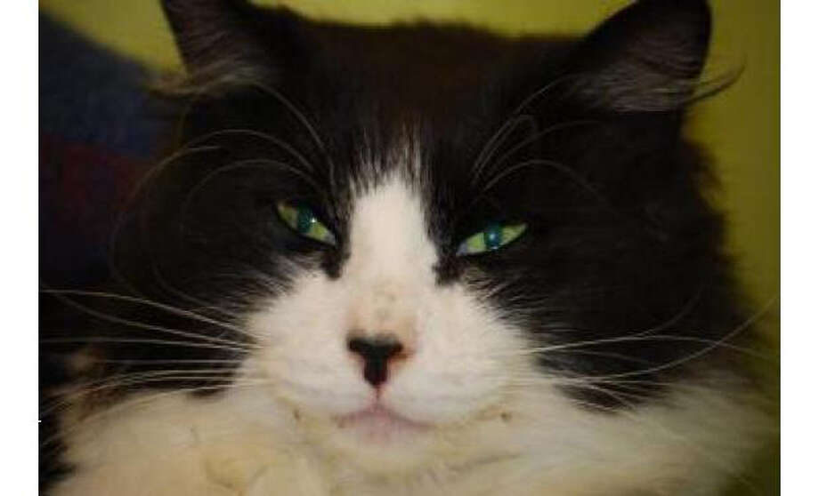 Name: Fifi, Breed: Domestic Medium Hair/Mix, Gender: Female, Size: Small, Age: 4 years, 1 month, Adoption Status: Available, Website: http://www.seattlehumane.org/ Photo: Seattle Humane Society