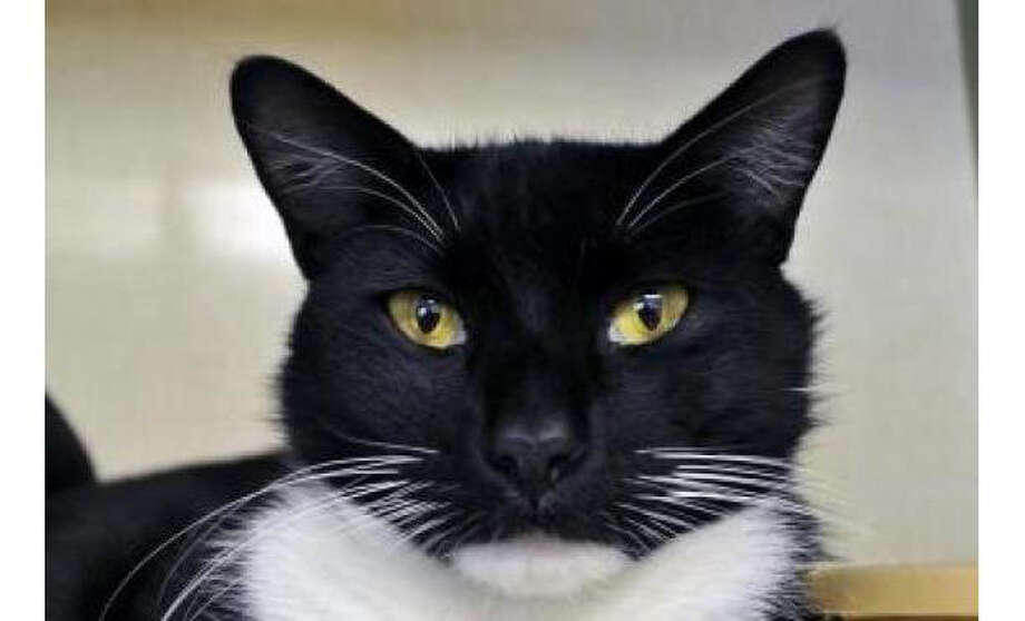 Name: Astroid, Breed: Domestic Shorthair/Mix, Gender: Male, Size: Small, Age: 4 years, 1 month, Adoption Status: Available, Website: http://www.seattlehumane.org/ Photo: Seattle Humane Society