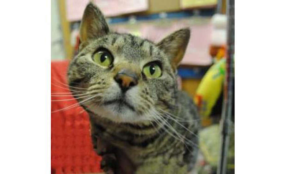 Name: Minnie, Breed:  Domestic Shorthair/Mix, Gender: Female, Size: Small, Age:  5 years, 1 month, Adoption Status: Available, Website: http://www.seattlehumane.org/ Photo: Seattle Humane Society