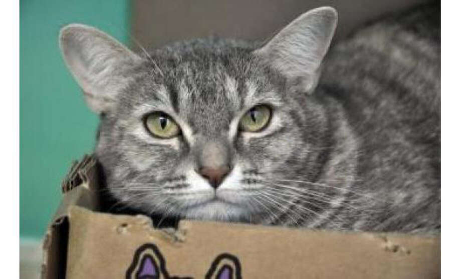Name: Libby, Breed:  Domestic Shorthair/Mix, Gender: Female, Size: Small, Age:  1 year, 7 months, Adoption Status: Available, Website: http://www.seattlehumane.org/ Photo: Seattle Humane Society