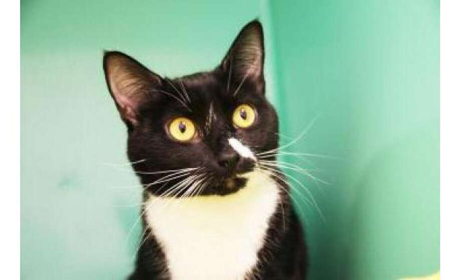 Name: Twist, Breed:  Domestic Shorthair/Mix, Gender: Female, Size: Small, Age:  1 year, 10 months, Adoption Status: Available, Website: http://www.seattlehumane.org/ Photo: Seattle Humane Society