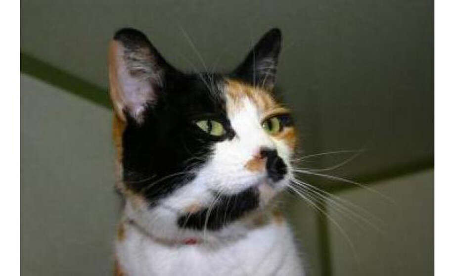 Name: Ava, Breed:  Domestic Shorthair/Mix, Gender: Female, Size: Small, Age:  2 years, Adoption Status: Available, Website: http://www.seattlehumane.org/ Photo: Seattle Humane Society
