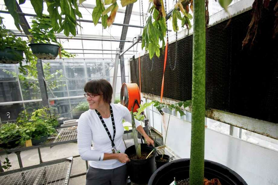 Under the watchful leaves of the infamous Corpse Flower Lois (right), Soni Holladay, Greenhouse Manager and Horticulturist at the Houston Museum of Natural Science, lifts on a newly donated Corpse Flower in the museum's greenhouse Monday, July 11, 2011, in Houston.   The museum is holding a contest to name the new corpse flower.  The top five names submitted to the museum's website will be voted on by the public and revealed on July 25, in honor of Lois' bloomday last year.    ( Michael Paulsen / Houston Chronicle ) Photo: Michael Paulsen, Staff / © 2011 Houston Chronicle