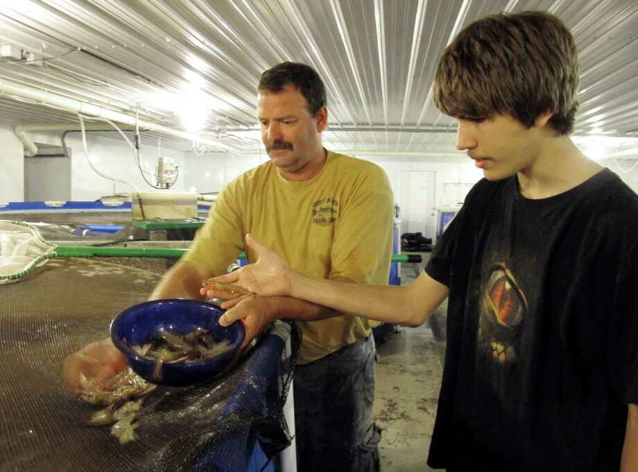 In this photo taken July 1, 2011, Darryl Brown, left, and his son, Levi, hold some of the Pacific white shrimp they raise at their farm in Fowler, Ind. Brown, who sells the shrimp live for $15 a pound to restaurants, at farmers? markets and visitors to his northern Indiana farm, began raising the shrimp last year in an old barn he converted into a nursery for young shrimp.  (AP Photo/Rick Callahan) Photo: Rick Callahan, STF / AP