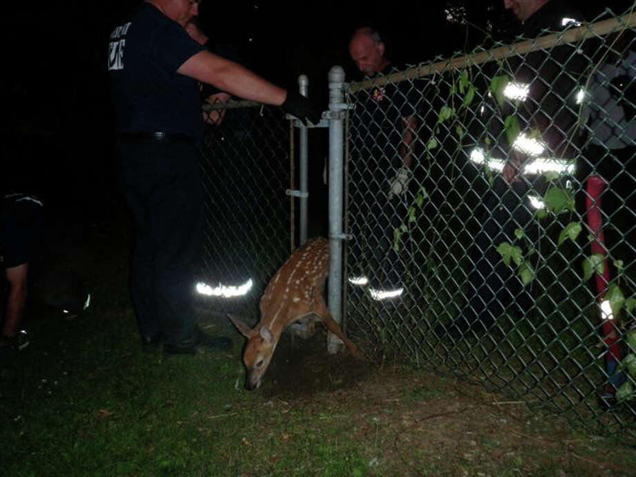 Westport firefighters help free a fawn trapped in a chain-link fence Tuesday night at an Elizabeth Drive home. Photo: Contributed Photo/Westport Fire, Contributed Photo / Westport News contributed