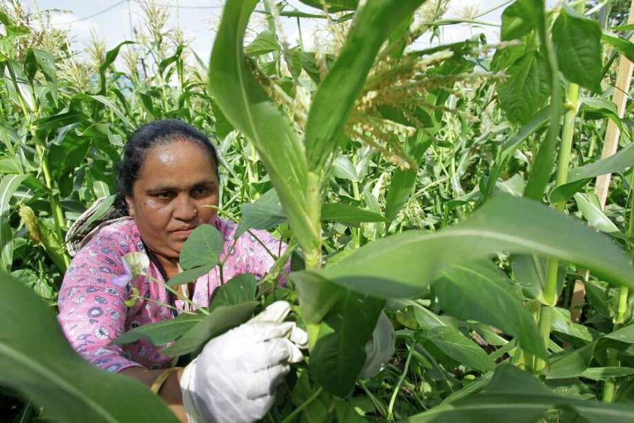 Bhakti Chamlagai a refugee from Bhutan works to wrap long bean plants around corn stalks in the Multicultural Alliance of Houston organic, community garden for refugees at 324 S. Richey Street Friday, July 1, 2011, in Houston.  The project is funded through the Office of Refugee Resettlement and involves a partnership with a local church and Amy's Food Inc., which buys up the vegetables, including squash, for its all natural egg roll business.   ( Melissa Phillip / Houston Chronicle ) Photo: Melissa Phillip, Staff / © 2011 Houston Chronicle