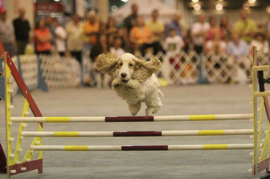 Jack, an English Cocker Spaniel, competes in the jumpers with weaves during the Best in Show at Reliant Center on  Sunday, July 25, 2010, in Houston. ( Mayra Beltran / Chronicle ) Photo: Mayra Beltran, Staff / Houston Chronicle