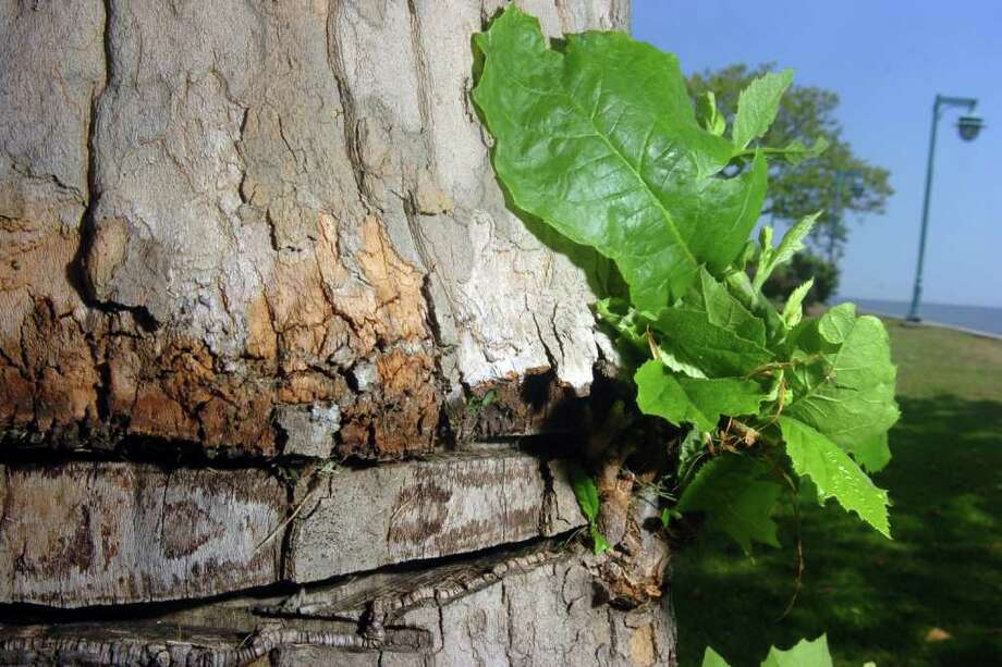 Girdling on one of the sycamore trees at St. Mary's-By-the-Sea in Bridgeport, Conn. July 15th, 2011. The sycamores were vandalized in March of 2010. Photo: Ned Gerard
