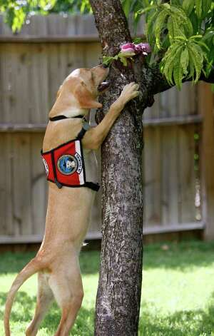 Eegan, a 5-month-old Labrador/Vizsla mix, looks for his favorite pink toy as he plays in the backyard of the home he is staying at while being fostered before he can start training as a TSA explosive detection dog. Photo: WILLIAM LUTHER, William Luther/wluther@express-news.net / 2011 SAN ANTONIO EXPRESS-NEWS